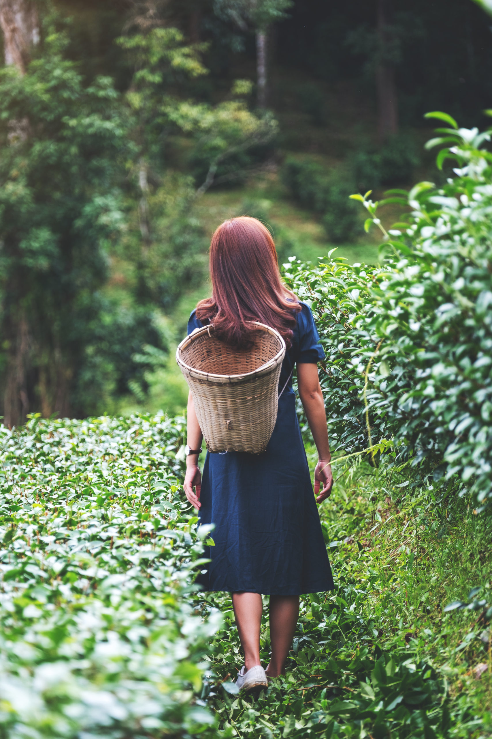 Rear view image of a woman walking and picking tea leaf in a highland tea plantation